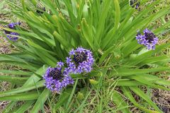 A purple-blue Scilla Peruviana Peruvian Lily flower and its st royalty free stock images