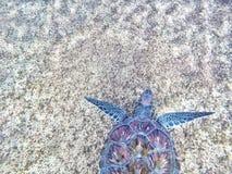 Purple and Blue Sea Turtle Stock Photo