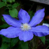 Purple blue single clematis flower on the vine. In the spring Royalty Free Stock Photography