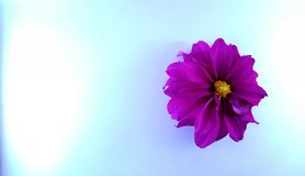 Purple  flowers on the blue textured background stock images