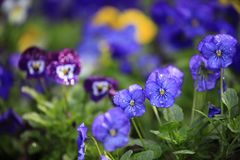 Purple and blue viola flowers blooming in the park royalty free stock images