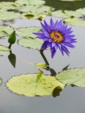 Purple-blue water lily Stock Image