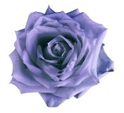 Purple-blue watercolor roses flower isolated on an white background. Closeup. Purple-blue watercolor roses flower on an isolated white background. Closeup. For stock image