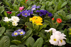 Purple, blue and white flowers bloom in February, ready for the March 8 Women`s Day in a sunny greenhouse Royalty Free Stock Photo