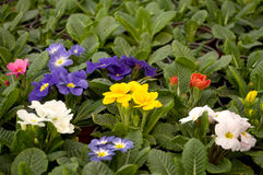 Purple, blue and white flowers bloom in February, ready for the March 8 Women`s Day in a sunny greenhouse Stock Photos