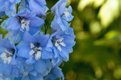 Purple, blue and white larkspur flower. Known as Delphinium blooms in a garden in spring Stock Images