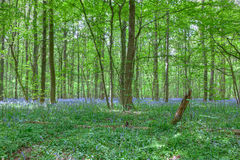 Purple bluebell flowers forest Stock Photos