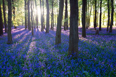 Purple bluebell woods i Stock Images