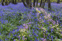Purple Bluebells Royalty Free Stock Photo