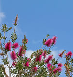 Purple bottlebrush plant on blue sky background Stock Images