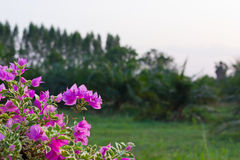 Purple bougainvillaea. �blossoming as a group royalty free stock photography