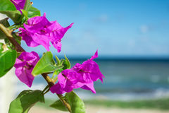 Purple bougainvillaea flowers in front of sea background Stock Image
