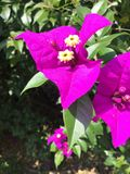Purple Bougainville Royalty Free Stock Photography