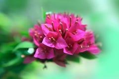 Purple bougainvillea Stock Image
