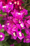 Purple Bougainvillea background Stock Image