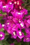 Purple Bougainvillea background Stock Image