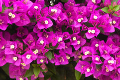 Purple Bougainvillea background Stock Photography