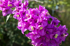 Purple bougainvillea. On blurry background Stock Image