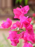 Purple bougainvillea Royalty Free Stock Photo