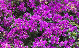 Purple Bougainvillea Flower photo on nature background . Stock Image