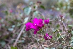 Purple bougainvillea flowers. Aberdare, Kenya. Africa royalty free stock images