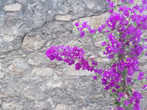 Purple Bougainvillea flowers against grey stone wall Stock Images