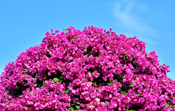Purple Bougainvillea flowers as ball shape. Purple Bougainvillea flower as ball under blue sky Royalty Free Stock Photos