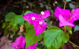 Purple bougainvillea flowers in bloom - closeup shot royalty free stock image
