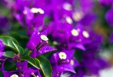 Purple Bougainvillea flowers Stock Photography