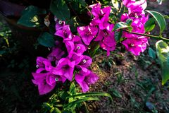 Purple bougainvillea flowers and green leaves. Purple bougainvillea flowers green leaves royalty free stock photography