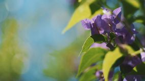 Purple bougainvillea flowers and leaves with blue sky background. Shot with Sony a7s and Atomos Ninja Flame on sunny summer day stock video