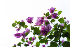 Purple bougainvillea flowers with white background Stock Photo