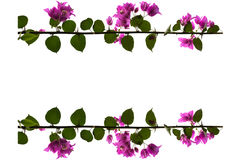 Purple bougainvillea flowers with white background royalty free stock image