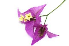 Purple bougainvillea flowers on white Stock Photos