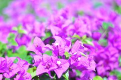 Purple bougainvillea in the garden close up picture stock photo