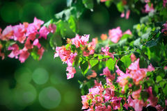 Purple bougainvillea on green Stock Photography