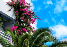 Purple bougainvillea and palm tree Royalty Free Stock Photography