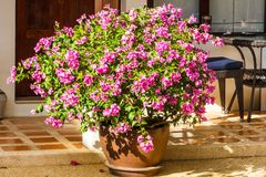 Purple bougainvillea in pot Royalty Free Stock Photo