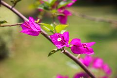 Purple bougainvillea, with red pistil in full bloom royalty free stock photography