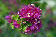Purple bougainvillea Stock Image