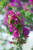 Purple bougainvillea Royalty Free Stock Image