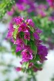 Purple bougainvillea Royalty Free Stock Image