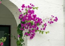 Purple Bougainvillea Vine with White stucco background. Pictured is a purple bougainvillea growing up a white stucco wall wall in Puglia, Italy. Bougainvillea is royalty free stock photo