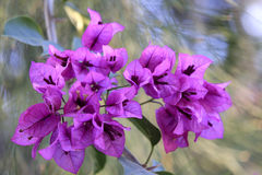 Purple bougainvillea Royalty Free Stock Images
