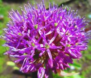 Purple bowl of onion flower. Purple flowers-balls of garlic decorative. Royalty Free Stock Images