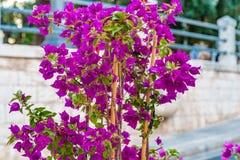 Bougainvillea glabra bracts. Purple bracts of bougainvillea glabra Royalty Free Stock Photography