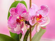 Purple branch orchid  flowers with green leaves, Orchidaceae, Phalaenopsis known as the Moth Orchid, abbreviated Phal Royalty Free Stock Image