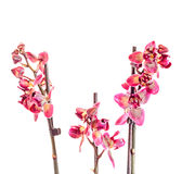 Purple branch orchid  flowers,  Orchidaceae, Phalaenopsis known as the Moth Orchid. Royalty Free Stock Photos