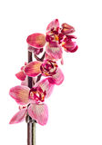 Purple branch orchid  flowers,  Orchidaceae, Phalaenopsis known as the Moth Orchid. Stock Photo