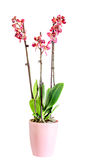 Purple branch orchid  flowers,  Orchidaceae, Phalaenopsis known as the Moth Orchid. Royalty Free Stock Photo